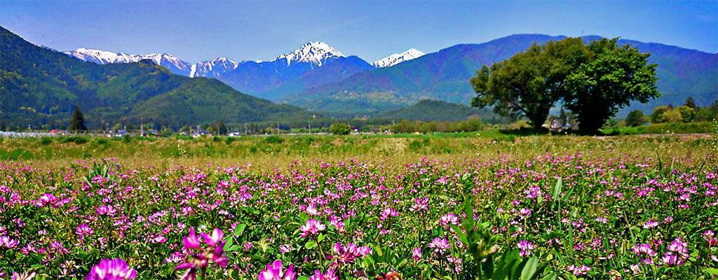 蓮華草と常念岳